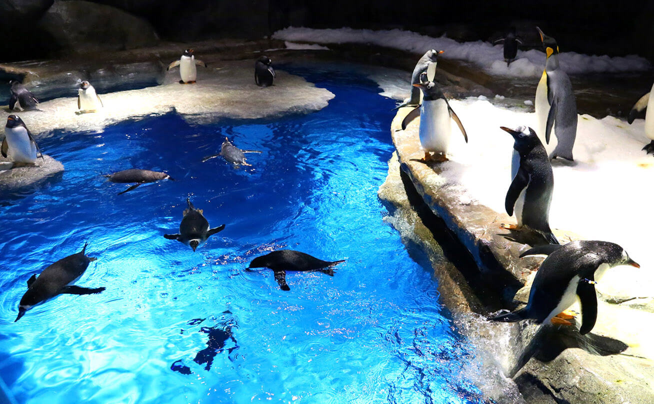 King penguins in aquarium or zoo environment